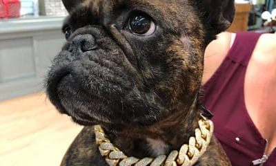Florida Bulldog Models Some Serious Bling … Plus 59 More Adorable Jewelry Store Mascots